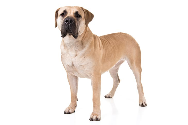 Boerboels pet insurance