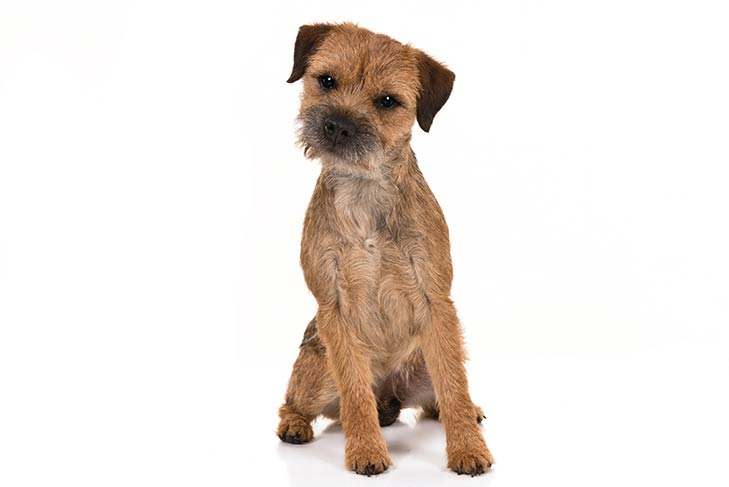 Border Terriers pet insurance