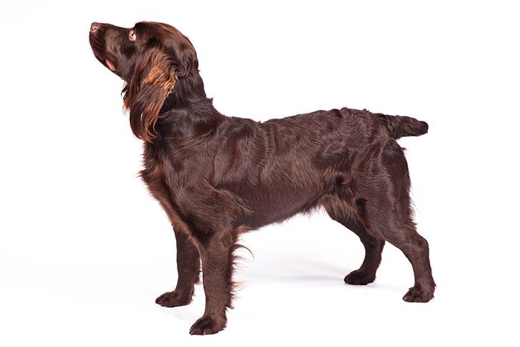 Boykin Spaniels pet insurance