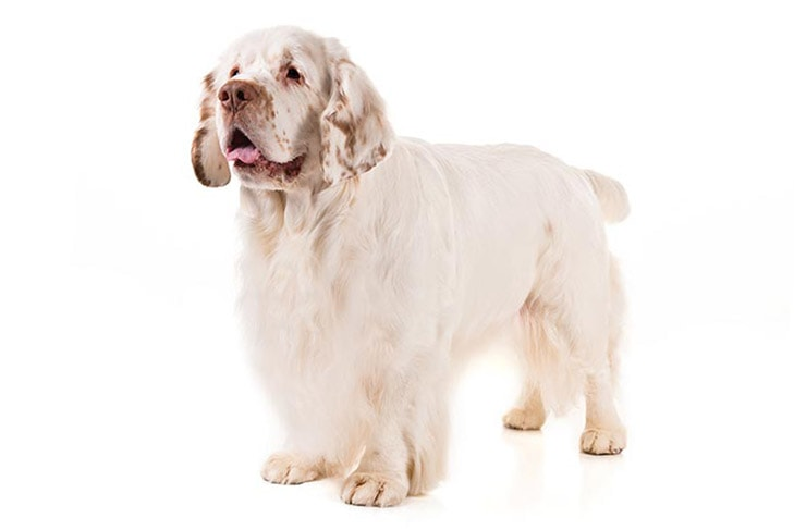 Clumber Spaniels pet insurance