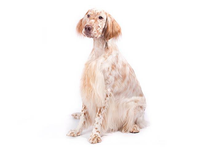 English Setters pet insurance