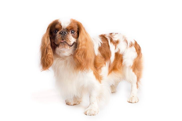 English Toy Spaniels pet insurance