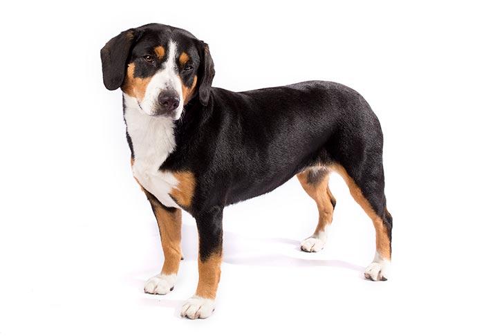 Entlebucher Mountain Dogs pet insurance