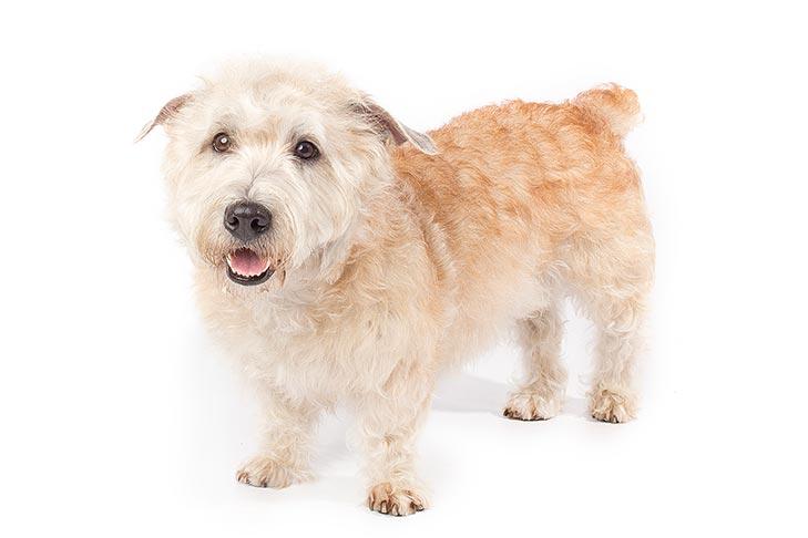 Glen of Imaal Terriers pet insurance