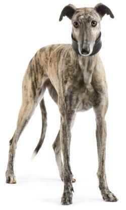 Greyhounds pet insurance