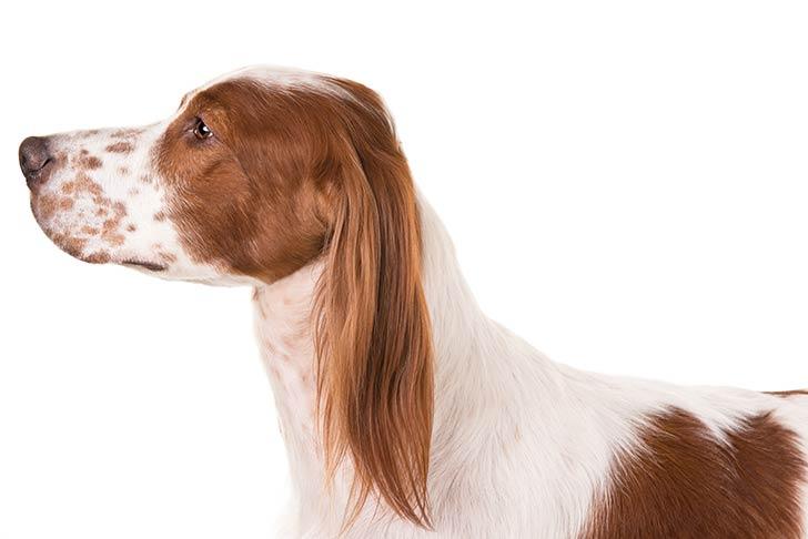 Irish Red And White Setters pet insurance