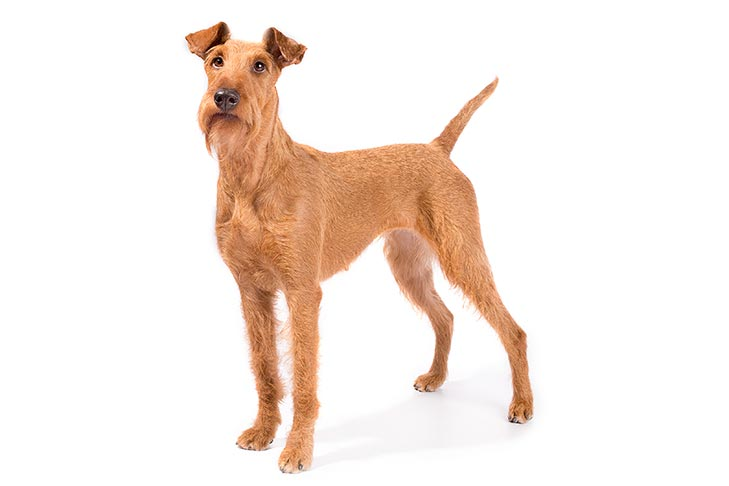 Irish Terriers pet insurance