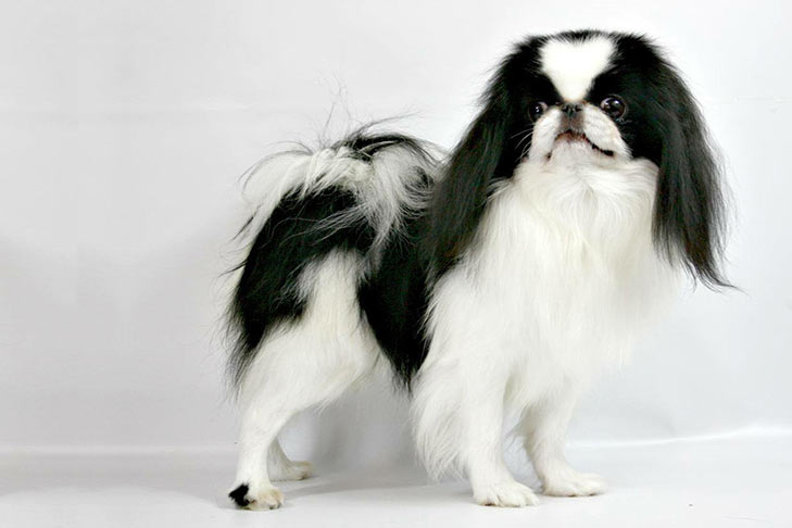 Japanese Chin pet insurance