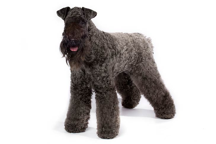 Kerry Blue Terriers pet insurance