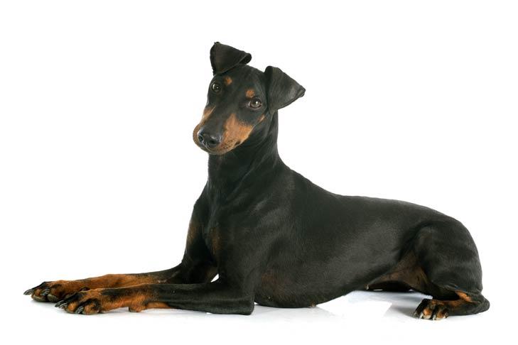 Manchester Terriers pet insurance