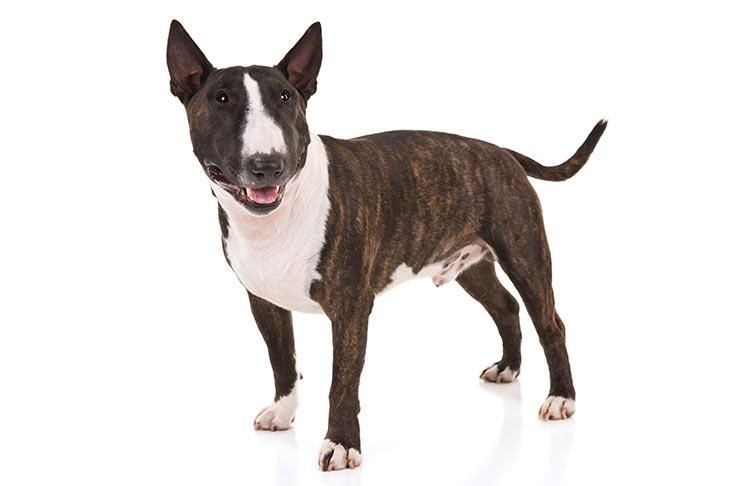 Miniature Bull Terriers pet insurance
