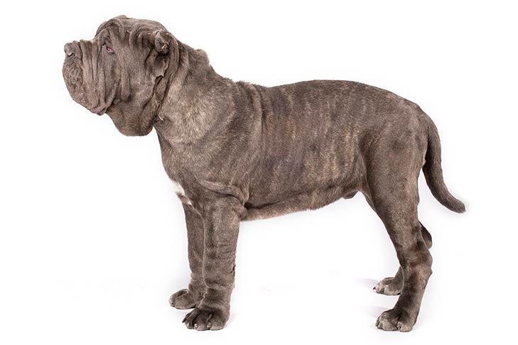 Neapolitan Mastiffs pet insurance