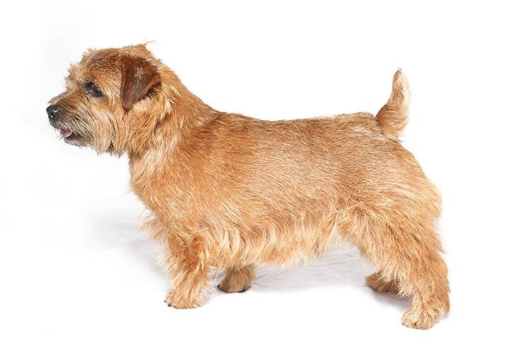 Norfolk Terriers pet insurance