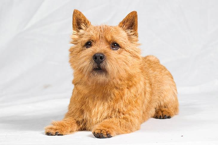 Norwich Terriers pet insurance