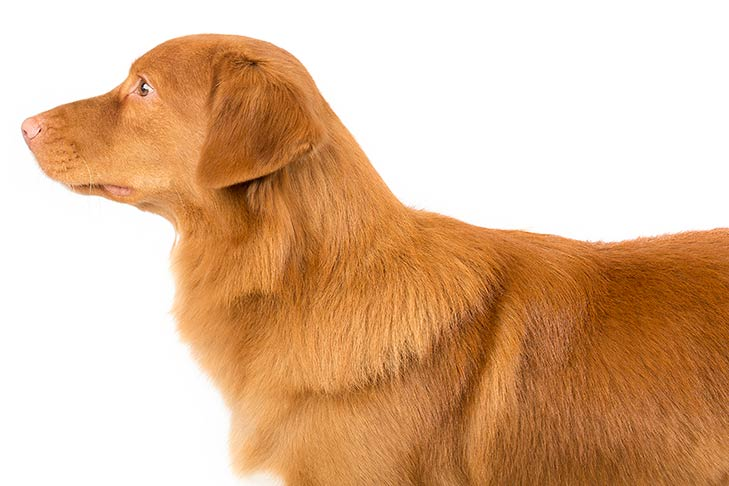 Nova Scotia Duck Tolling Retrievers pet insurance