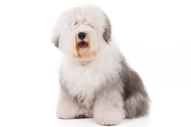 Old English Sheepdogs pet insurance