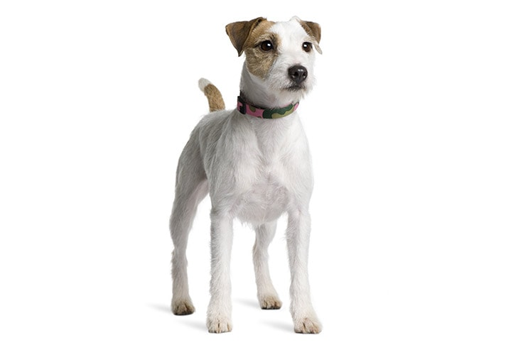 Parson Russell Terriers pet insurance