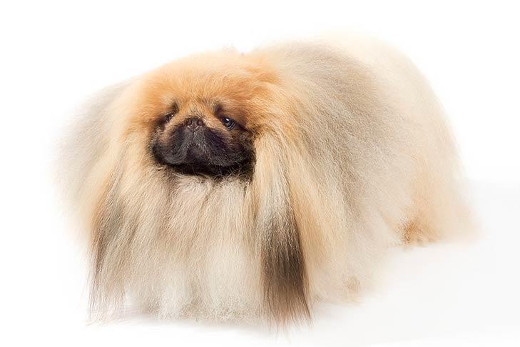 Pekingese pet insurance