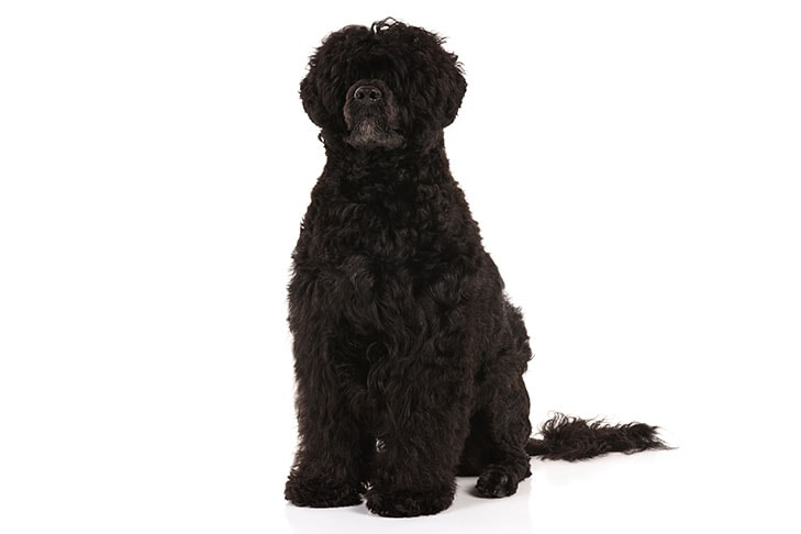 Portuguese Water Dogs pet insurance
