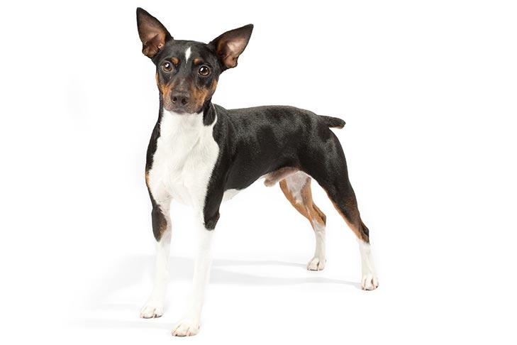 Rat Terriers pet insurance