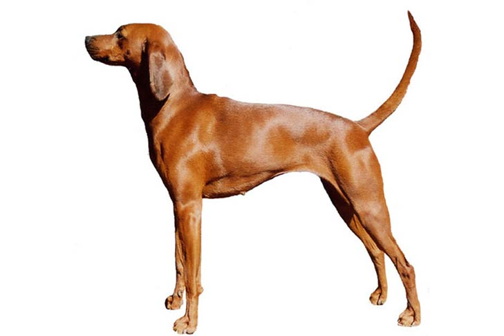 Redbone Coonhounds pet insurance