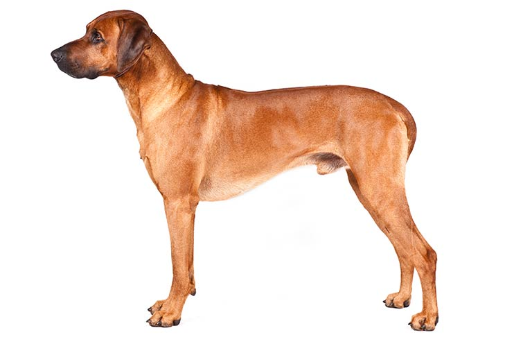 Rhodesian Ridgebacks pet insurance