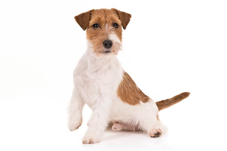 Russell Terriers pet insurance