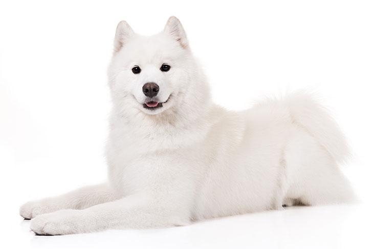 Samoyeds pet insurance