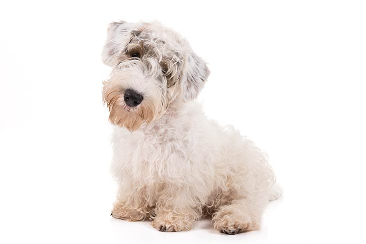 Sealyham Terriers pet insurance