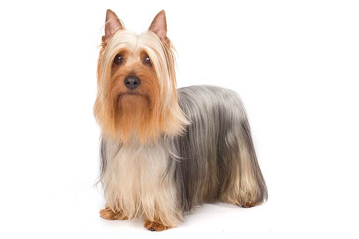 Silky Terriers pet insurance