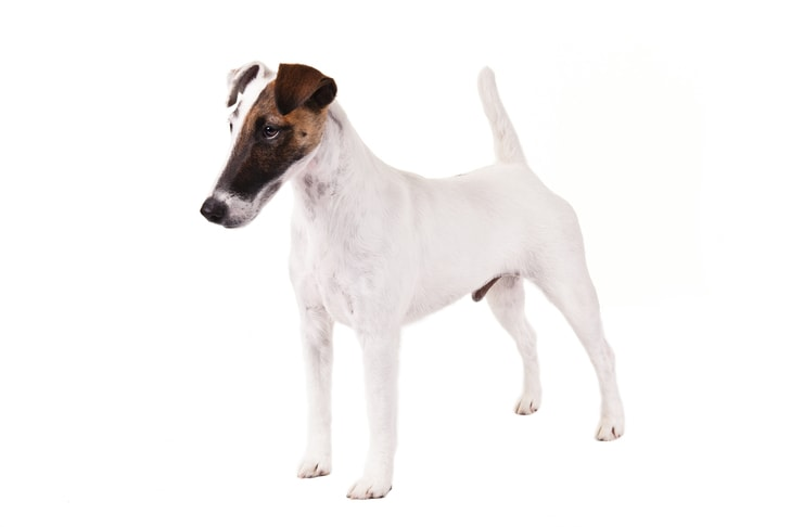 Smooth Fox Terriers pet insurance