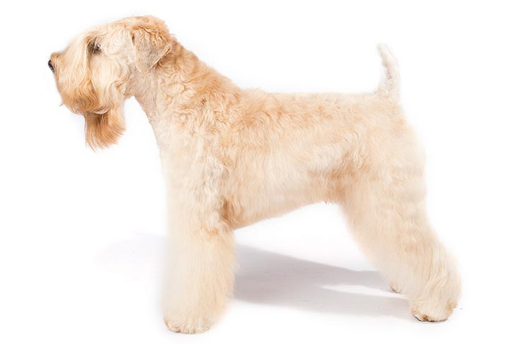 Soft Coated Wheaten Terriers pet insurance