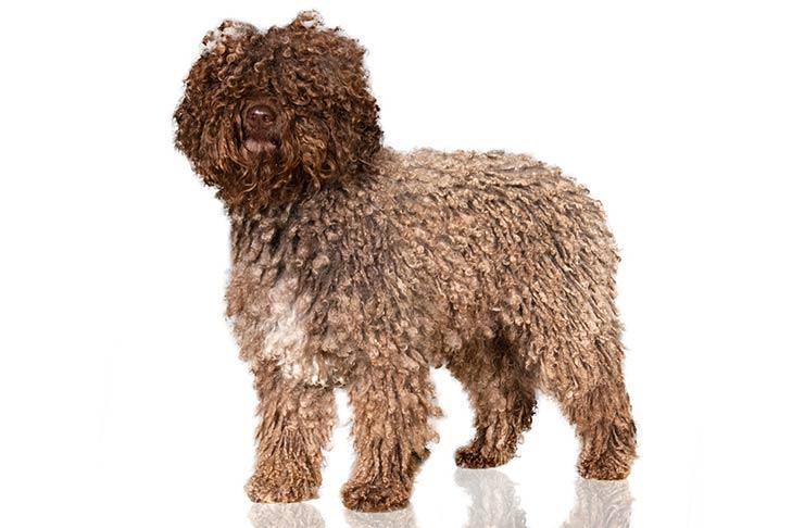 Spanish Water Dogs pet insurance