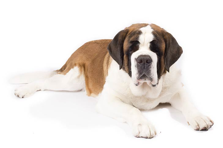 St. Bernards pet insurance