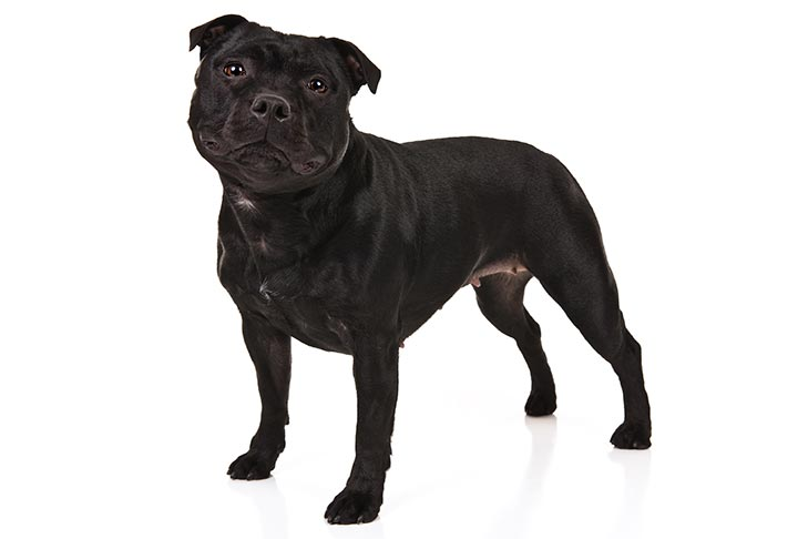 Staffordshire Bull Terriers pet insurance