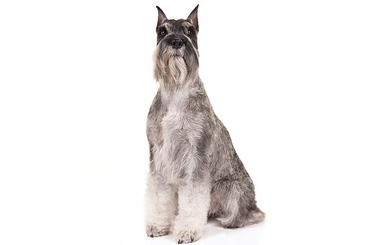 Standard Schnauzers pet insurance