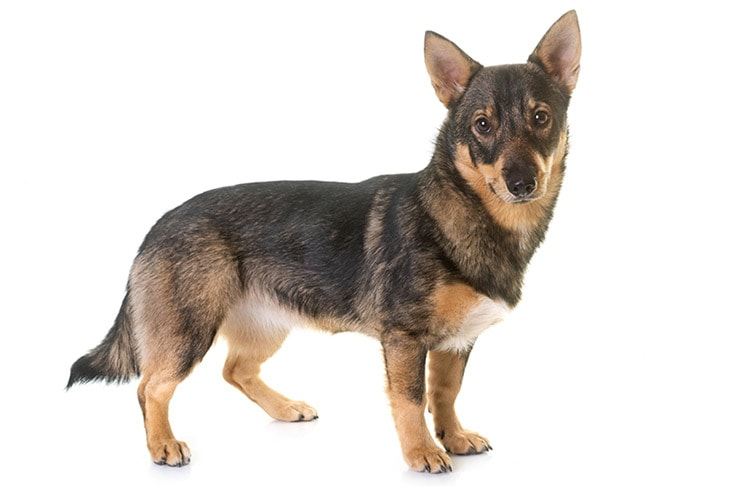 Swedish Vallhunds pet insurance