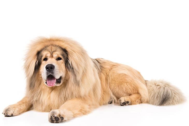 Tibetan Mastiffs pet insurance