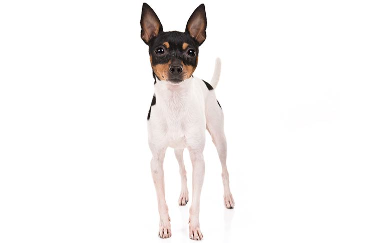 Toy Fox Terriers pet insurance