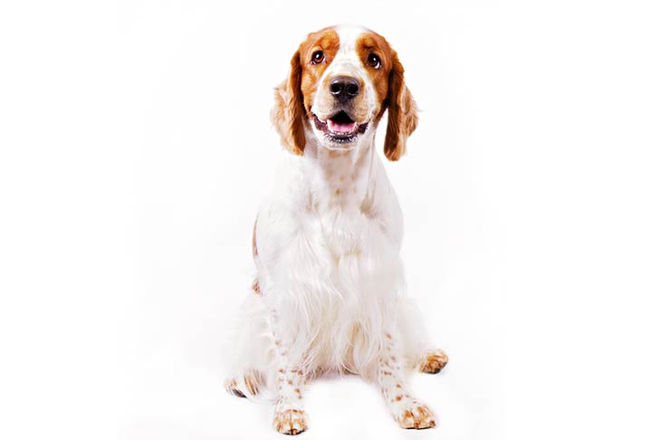 Welsh Springer Spaniels pet insurance