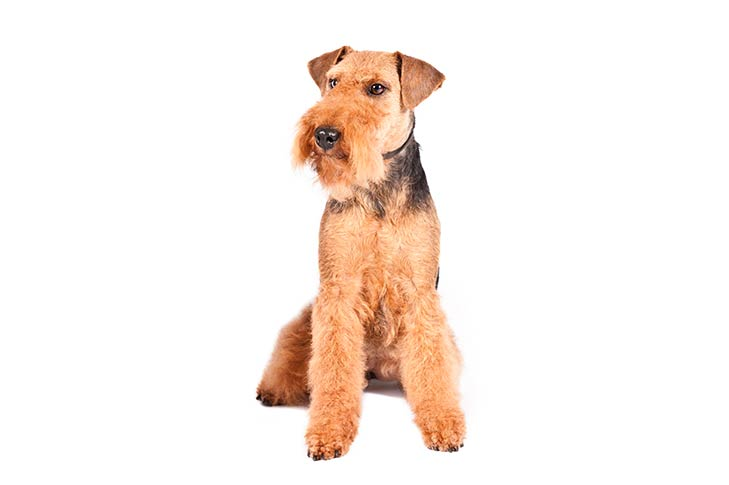 Welsh Terriers pet insurance