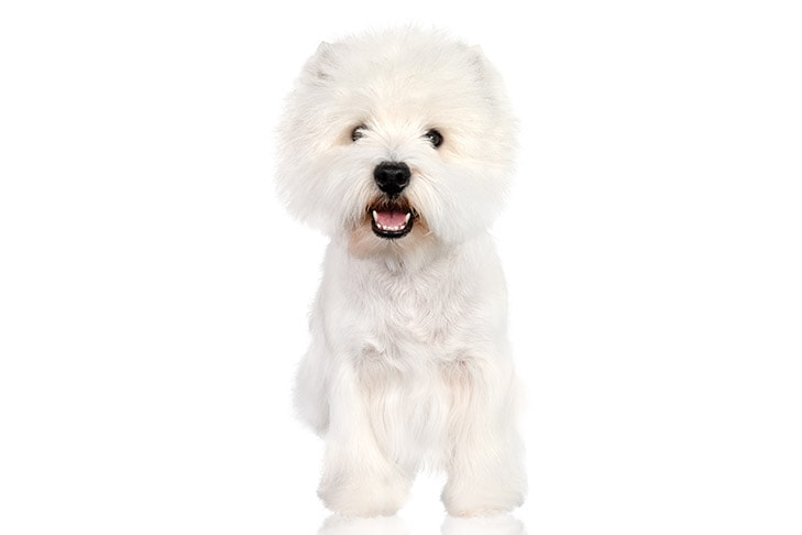 West Highland White Terriers pet insurance