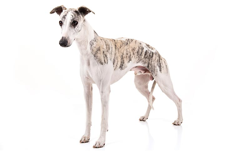 Whippets pet insurance