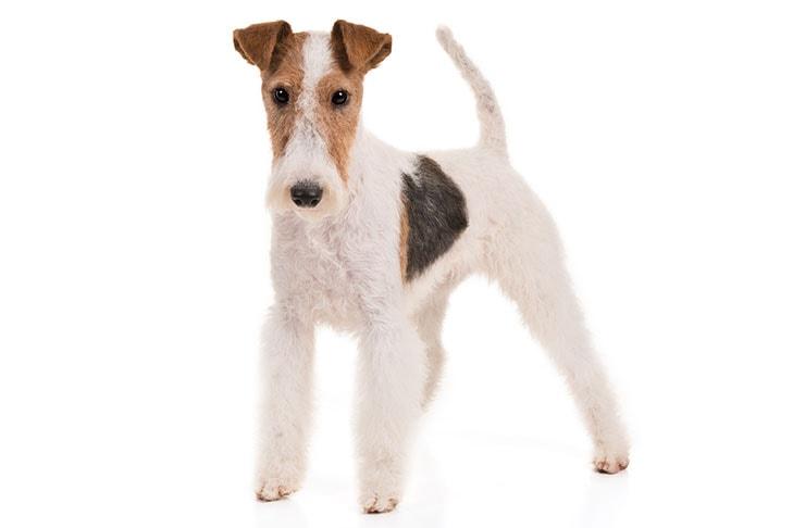 Wire Fox Terriers pet insurance