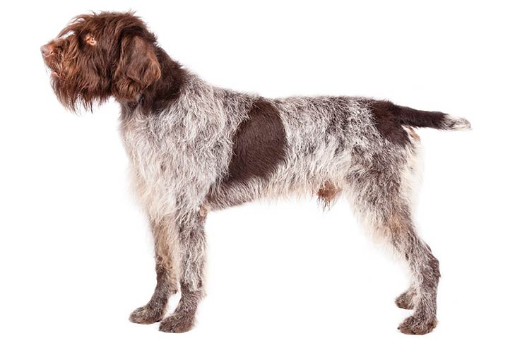 Wirehaired Pointing Griffons pet insurance