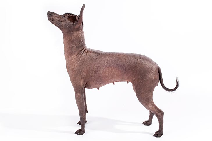 Xoloitzcuintli pet insurance