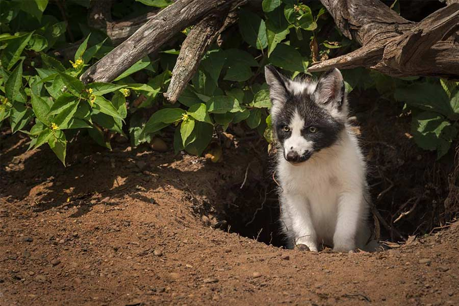Canadian marble fox on trees